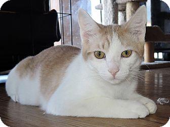 Domestic Shorthair Kitten for adoption in Garland, Texas - Rhett