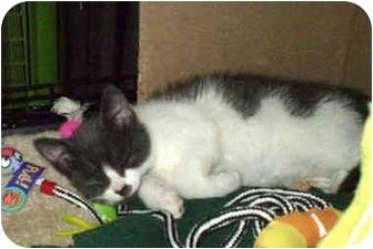 Domestic Shorthair Kitten for adoption in Boston, Massachusetts - Bo