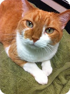 Domestic Shorthair Cat for adoption in Warminster, Pennsylvania - Bonnie