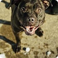 Adopt A Pet :: Denali - Shavertown, PA