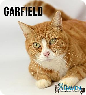 Domestic Shorthair Cat for adoption in Fairhope, Alabama - Garfield
