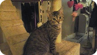 Domestic Shorthair Cat for adoption in Springdale, Arkansas - Addie
