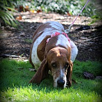 Adopt A Pet :: Stella - Greenville, SC