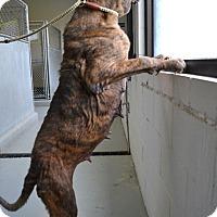 Adopt A Pet :: Maz - Missouri City, TX