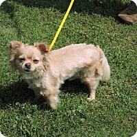 Adopt A Pet :: Mozart - Loudonville, NY