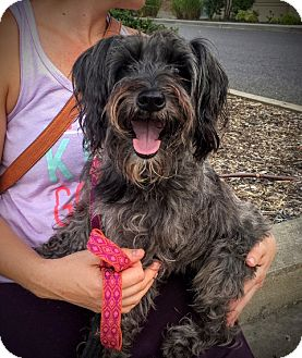 Schnauzer (Miniature)/Poodle (Miniature) Mix Dog for adoption in Memphis, Tennessee - Phoebe