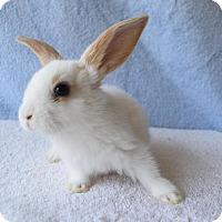 Adopt A Pet :: Sweetart - Fountain Valley, CA
