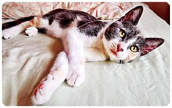 Calico Kitten for adoption in Redding, California - Edith
