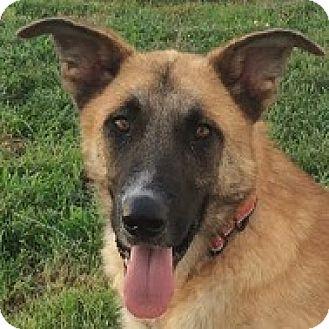 German Shepherd Dog Mix Dog for adoption in Silver Spring, Maryland - Sander