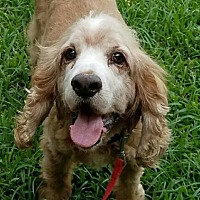 Cocker Spaniel Dog for adoption in Sugarland, Texas - Beau