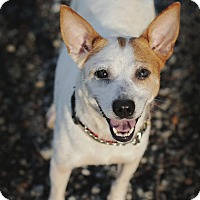 Feist/Jack Russell Terrier Mix Dog for adoption in Marietta, Georgia - Carol