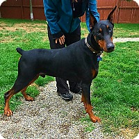 Doberman Pinscher Dog for adoption in Lafayette, Indiana - Gino