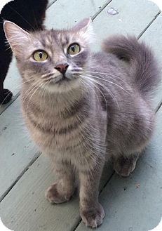 Domestic Mediumhair Cat for adoption in Metairie, Louisiana - Mimi