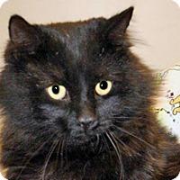 Domestic Mediumhair Cat for adoption in Wildomar, California - Charles Bingley