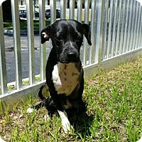 Adopt A Pet :: Simba - Weston, FL