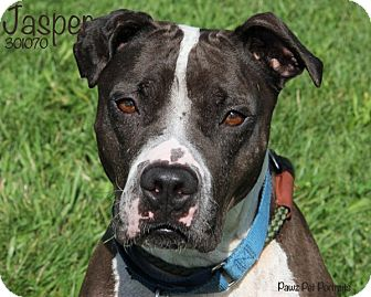 American Staffordshire Terrier/Terrier (Unknown Type, Medium) Mix Dog for adoption in Troy, Michigan - Jasper