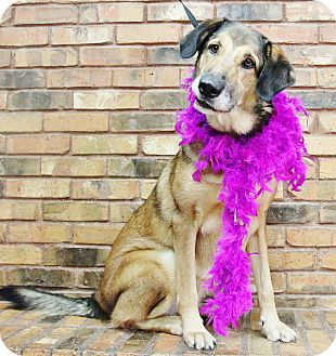 German Shepherd Dog/Collie Mix Dog for adoption in Benbrook, Texas - Chloe