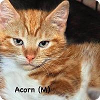 Adopt A Pet :: Acorn - West Orange, NJ