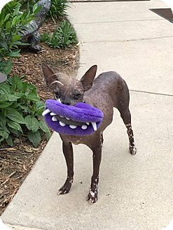 Chinese Crested/Xoloitzcuintle/Mexican Hairless Mix Dog for adoption in Gilford, New Hampshire - Fluffy (PA)