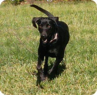 Labrador Retriever/Redbone Coonhound Mix Dog for adoption in Ascutney, Vermont - Ellie - Adopted!