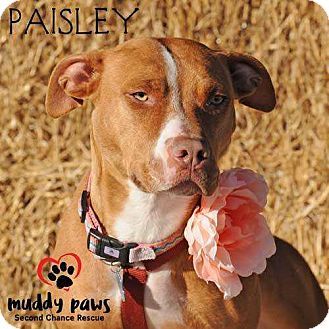 Vizsla/Pit Bull Terrier Mix Dog for adoption in Council Bluffs, Iowa - Paisley