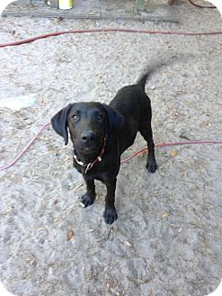 Labrador Retriever Mix Puppy for adoption in Groveland, Florida - Duke