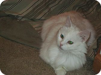 Domestic Longhair Cat for adoption in Warren, Ohio - Sophia