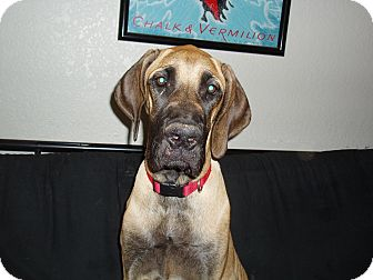 Great Dane/Mastiff Mix Puppy for adoption in Phoenix, Arizona - Zurrie/Update