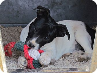 Jack Russell Terrier/Hound (Unknown Type) Mix Puppy for adoption in Humboldt, Tennessee - MISSEY
