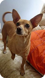 Chihuahua Mix Dog for adoption in Detroit, Michigan - Bitty