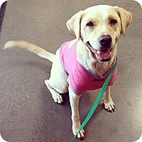 Adopt A Pet :: Amber - Honolulu, HI