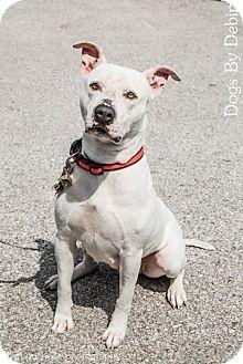 American Pit Bull Terrier Mix Dog for adoption in Kansas City, Missouri - Ester