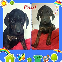 Adopt A Pet :: Paul in CT - Manchester, CT