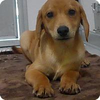 Adopt A Pet :: Brodie - Manning, SC