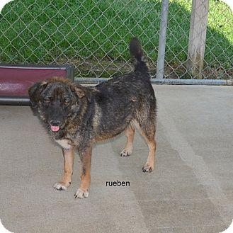 Shepherd (Unknown Type)/Chow Chow Mix Dog for adoption in Groton, Massachusetts - Reuben