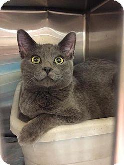 Domestic Shorthair Kitten for adoption in Chicago, Illinois - Miney