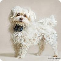 Adopt A Pet :: Sidney - Chandler, AZ