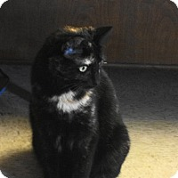 Domestic Mediumhair Cat for adoption in Mount Ida, Arkansas - Torti