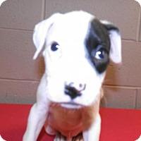 Adopt A Pet :: Spot - Oxford, MS
