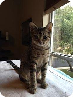 Domestic Shorthair Kitten for adoption in Bulverde, Texas - Dixie
