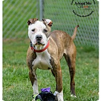 Pit Bull Terrier Mix Dog for adoption in Batavia, Ohio - Electra