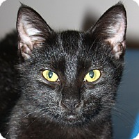 Domestic Shorthair Cat for adoption in North Branford, Connecticut - Batman - adoption pending