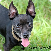 Chihuahua Dog for adoption in Texarkana, Arkansas - Mrs Pinkerton