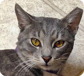 Domestic Shorthair Cat for adoption in Santa Fe, New Mexico - Rascal 2