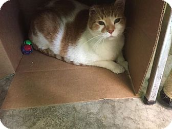 Domestic Shorthair Cat for adoption in Bryan, Ohio - Evander