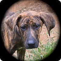 Adopt A Pet :: Laredo - Ijamsville, MD