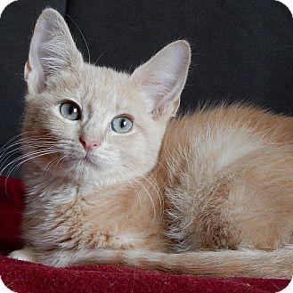 Domestic Shorthair Kitten for adoption in Long Beach, New York - Oliver
