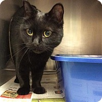 Domestic Shorthair Cat for adoption in Janesville, Wisconsin - Neptune