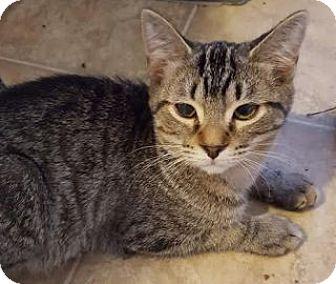 Domestic Shorthair Kitten for adoption in Toledo, Ohio - Bob