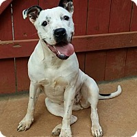 Boxer/American Bulldog Mix Dog for adoption in West Springfield, Massachusetts - Mai Tai